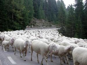 Clienti Pecore